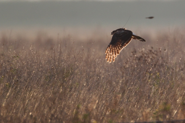 Femail (sat tag) HH at Wallasea Wetlands 31-10-14 Trevor Oakley
