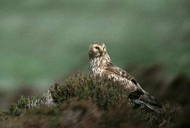 Female HH at Loch Gruinart RSPB Reserve by Andy Hay (RSPB Images)