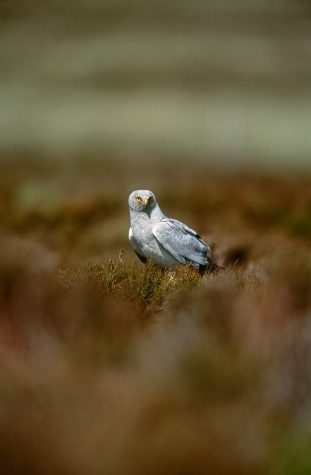 Male HH at Loch Gruinart RSPB Reserve (2002) by Andy Hay (RSPB Images)